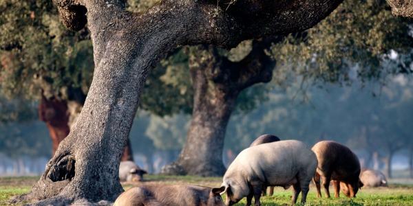 Temporada de Montanera para el cerdo Ibérico