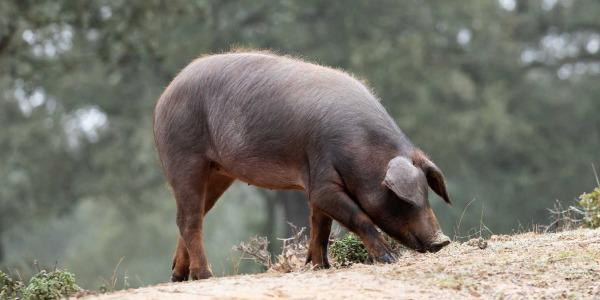 Las razas del cerdo ibérico